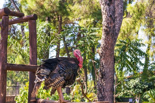 Turkey hen at the farmyard with blurry background. Greece.