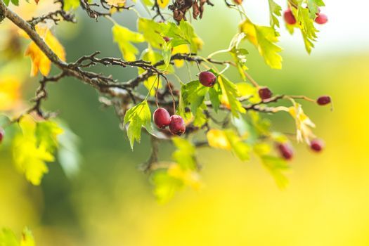 Beautiful autumn light background. Hawthorn with red berry on th