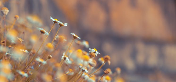 Daisy flowers panoramic background