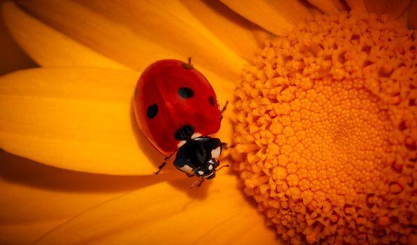 Tiny ladybird on yellow flower