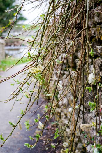 Willow Catkins in Early Spring growing over a wall