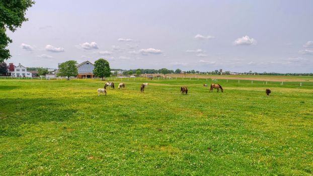 Ponies and Miniature Ponies Grazing in Field on a Sunny Summer Day