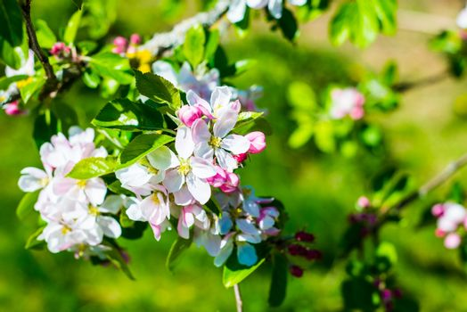 Flourish pink apple flowers on branch in park