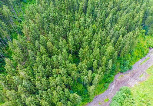 Country dirt road in coniferous forest from above aerial view of pine evergreen trees