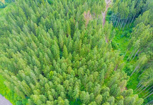 Beautiful panoramic aerial view of evergreen trees tops of pine forest.
