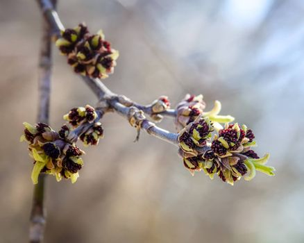 Budding on a branch in early spring, close-up