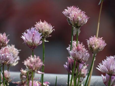 Some Allium schoenoprasum blossoms in the sunshine