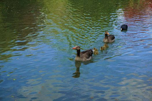 Family of greylag geese hunted by eurasian coot on a lake