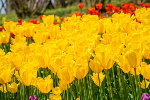 The high contrast of yellow tulips garden