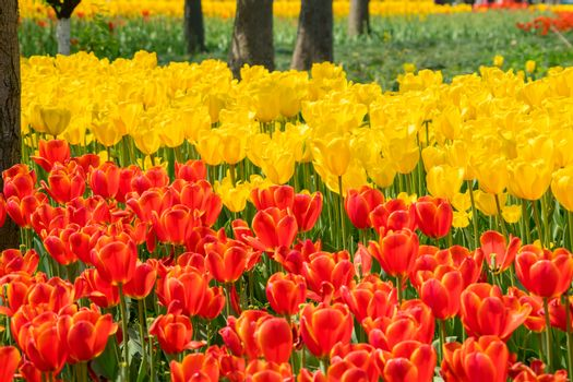 The high contrast of orange and yellow tulips garden