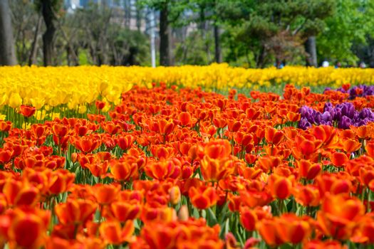 The high contrast of yellow and orange tulips garden
