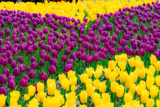 The high contrast of purple and yellow tulips garden