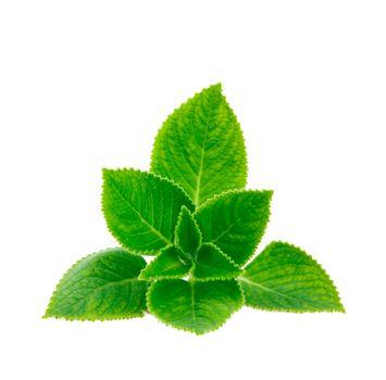 mint leave