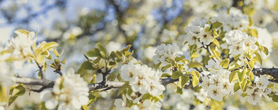 Blurred pear tree background with spring flowers in sunny day. P