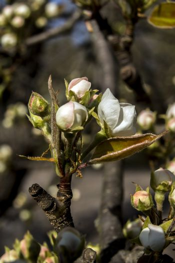 The pear tree blooms in early spring.
