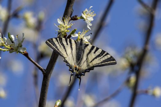 The Swallowtail butterfly ((Papilio machaon)  of green leaf.