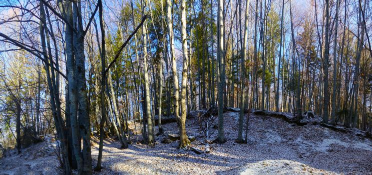 Winter forest panoramic view with a thin layer of first snow