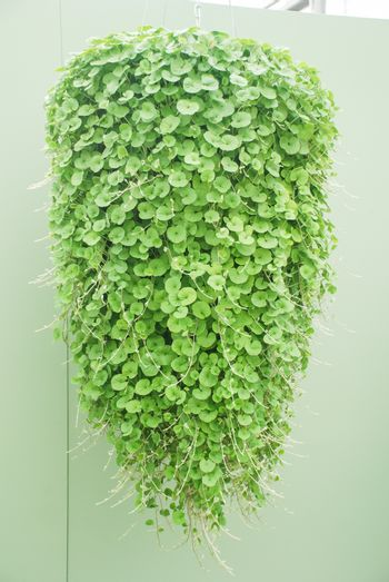 Dichondra Repens plant is grown at the nursery, hanging plants