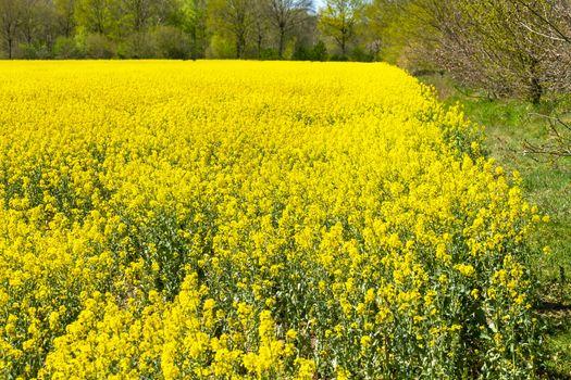 Yellow blooming rape field in spring