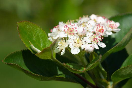 Black chokeberry (Aronia melanocarpa), bloom of the superfruit