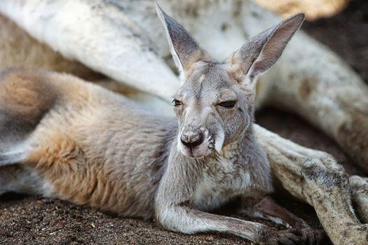 Red Kangaroo (Macropus rufus), photo was taken in the Caversham Wildlife Park, Perth