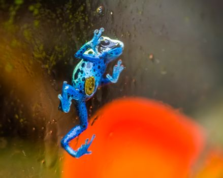Blue poison dart frog walking against the glass window, tropical amphibian specie from Suriname, South America