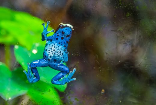funny closeup of a blue poison dart frog climbing against the window, tropical amphibian specie from Suriname, South America