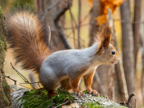 Cute squirrel sitting on birch tree. Wild curious rodent is staring in camera. Autumn forest background.