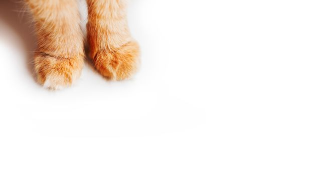 Fluffy paws of cute ginger cat on white background. Furry pet. Copy space.