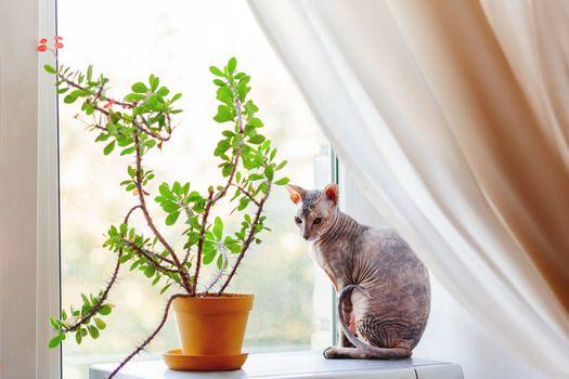 Sphinx cat sitting on awindow sill near indoor plant. Hairless pet looks arrogant.