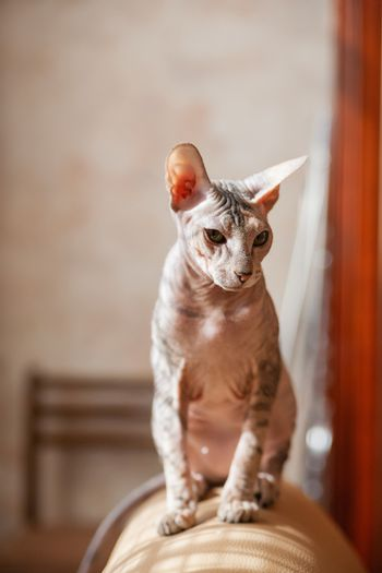 Sphinx cat sitting on a couch. Hairless pet looks arrogant.