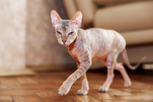 Sphinx cat. Hairless pet looks arrogant.