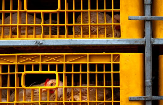 Chicken transport by truck from livestock farm to food factory.
