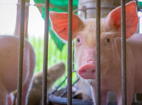 Cute piglet in farm. Healthy small pink pig. Livestock farming.