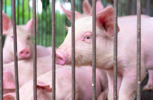 Cute piglet in farm. Sad and healthy small pig. Livestock farmin