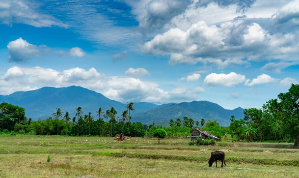 Mixed farming and livestock in Thailand. A farmer plowing with a