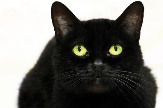 Beautiful black cat on white background .