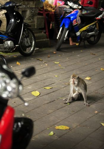 Impudent monkey on the road. Bali Island, Indonesia