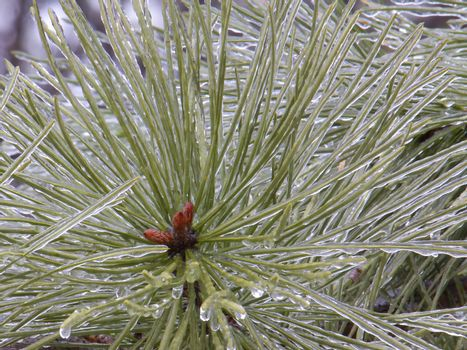 Pine needles coated with layer of ice