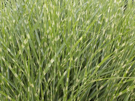 Green and yellow zebra grass growing in field.