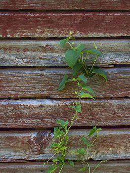 Vine climbing old red barn wall