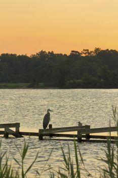 Great blue heron, seagull await the morning sun