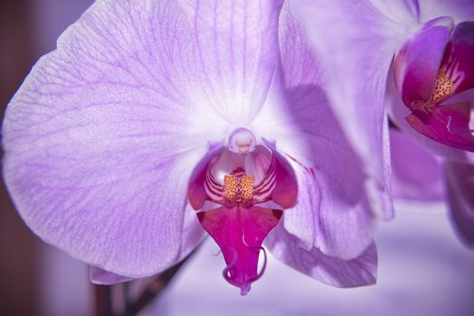 closer look at the head of purple orchid