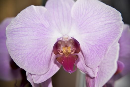closer look at the head of pink orchid