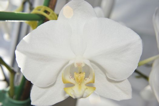 closer look at the head of white orchid