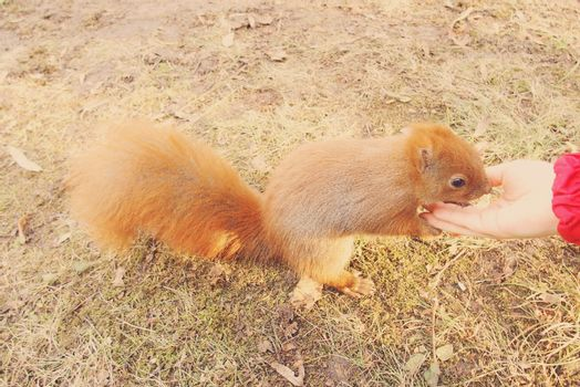 beautiful little red squirrel animal carmine in autumn with hand nuts in the park