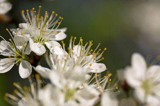 Hawthorn Bush Blossom