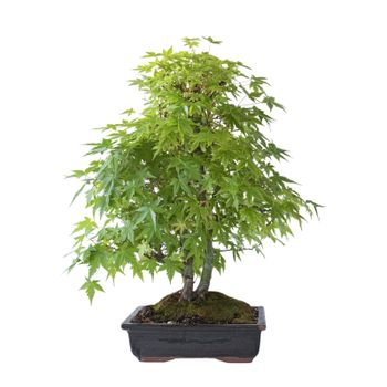 beautiful japanese maple bonsai in spring colors