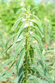 Sesame a tall annual herbaceous plant