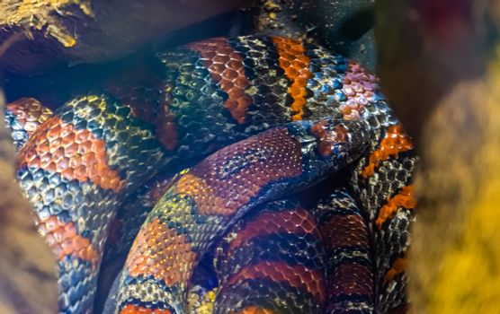 closeup of a coiled up mexican kingsnake, tropical reptile specie from Mexico